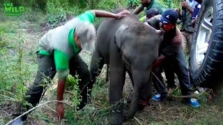 The baby elephant was wounded by a jungle trap