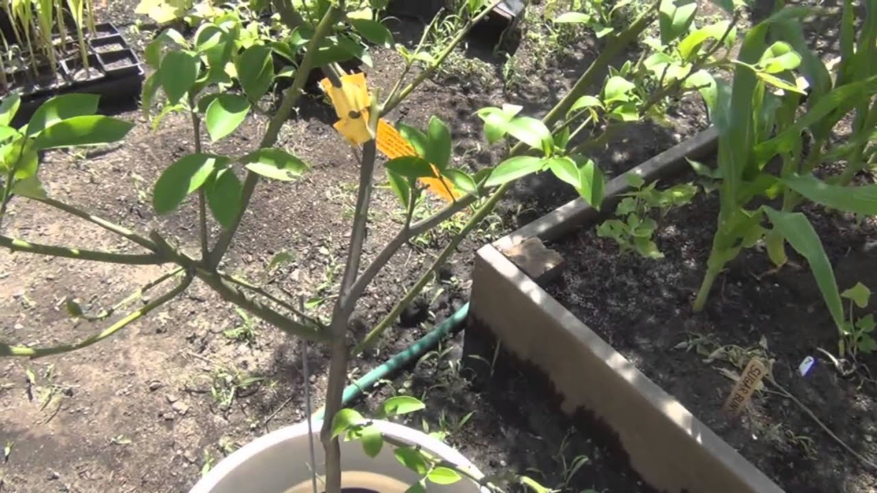 growing citrus trees in containers update 2013