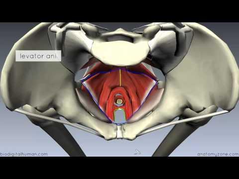 Pelvic Floor Part 1 - The Pelvic Diaphragm - 3d Anatomy Tutorial video