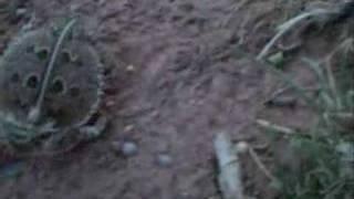 Deadly Horned Lizard aka Horny Toad