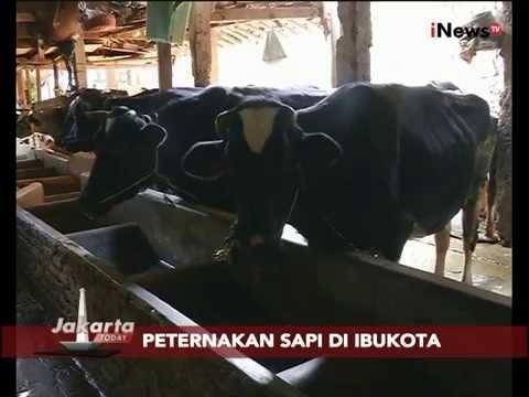 Peternakan Sapi Di Ibukota Sejak Tahun 1960 - Jakarta Today 13/08