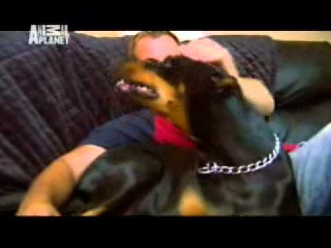 101 Dogs: Doberman