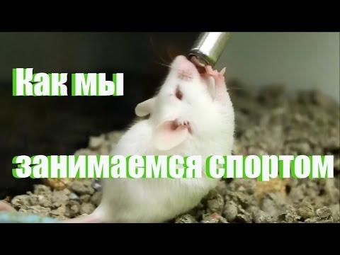 Как мы занимаемся спортом в исполнение мышей. Смешилка. Минутка смеха. (How we exercise) Russian