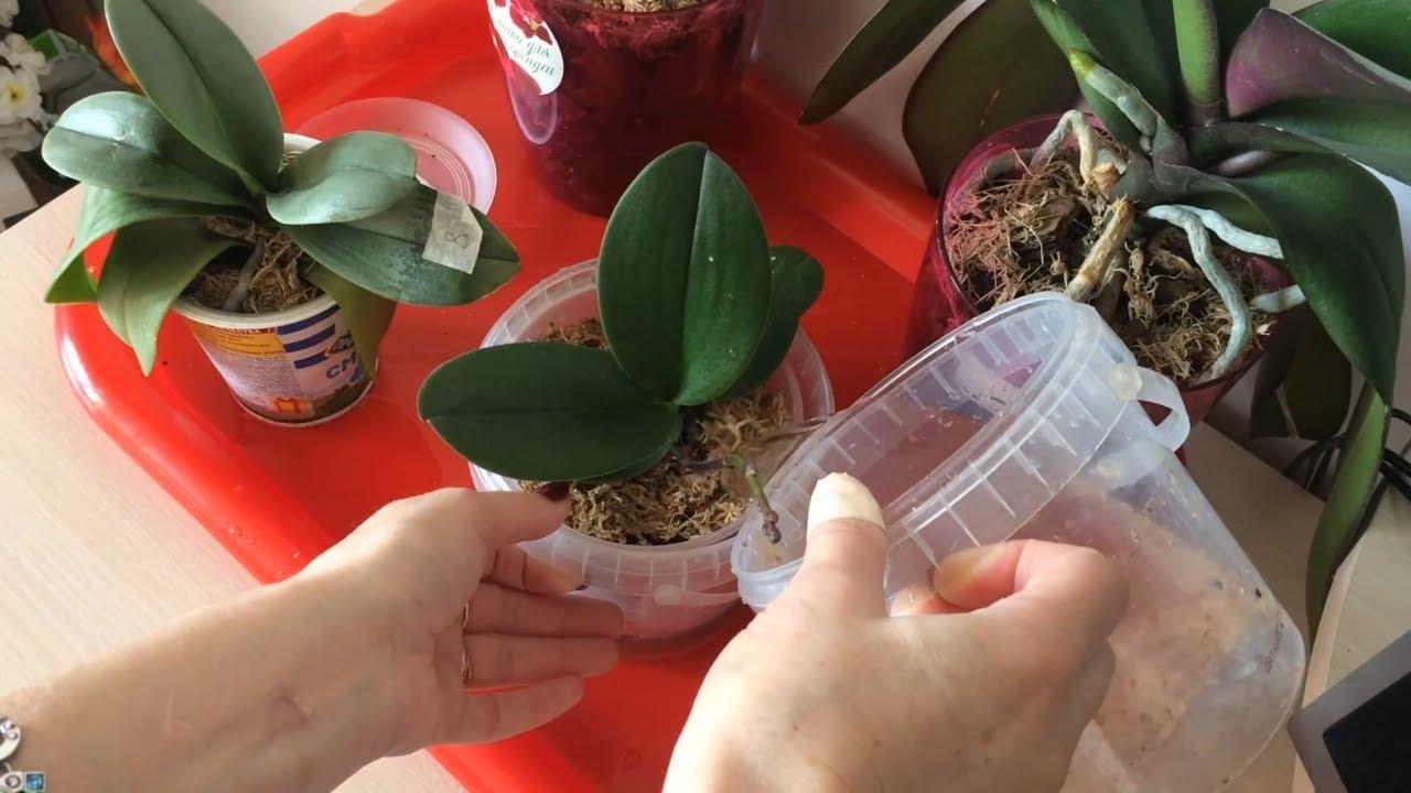Орхидея фаленопсис уход в домашних условиях пересадка после покупки 478