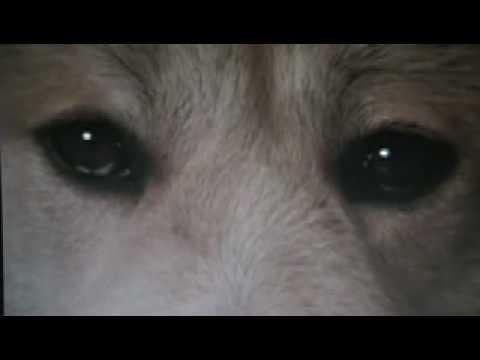 Hachiko Monogatari - Bittersweet (akita Dog) video