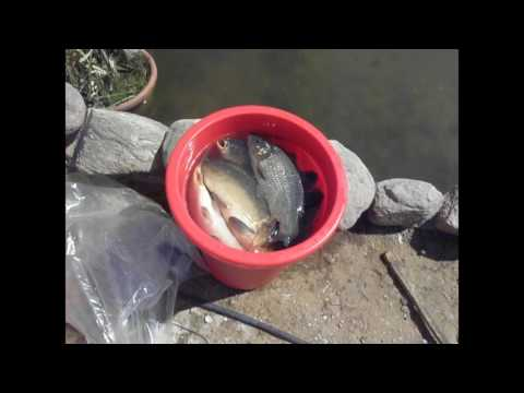 Выращивание карпов в маленьких прудах 106
