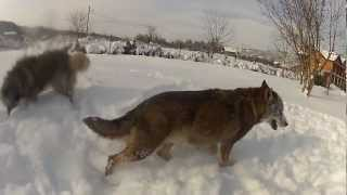 Wolf and Sarplaninac dancing in the snow
