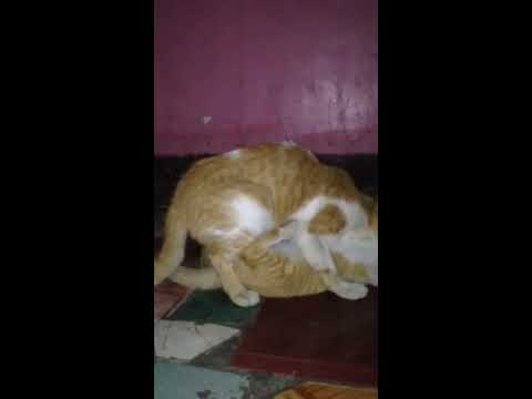 Funny Cat Sex Scandal In Philippines :) video