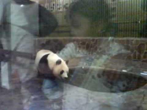 王子動物園のパンダ2【ンコ注意】