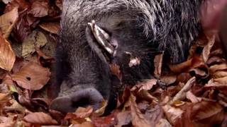 Driven wild boar hunting  Giant pigs rolling dead down the hills 2017...