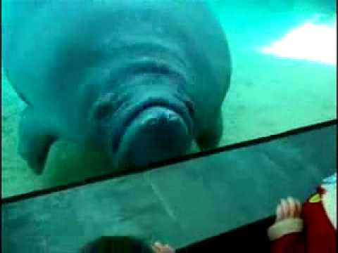 Manatee Mashup, couple of silly manatee clips (what I've been laughing