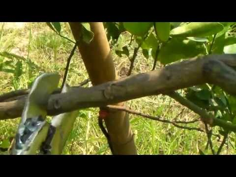 เทคนิคเกษตรดอทคอม การตอนกิ่งมะนาว_การตอนกิ่งไม้ �
