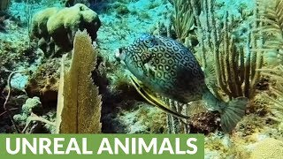 Honeycomb cow fish extremely irritated with unwanted sucker fish