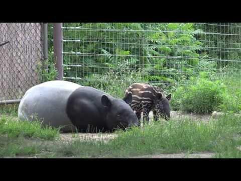 Baby Tapir Climbs On Moms Head | Sony FDR AX100