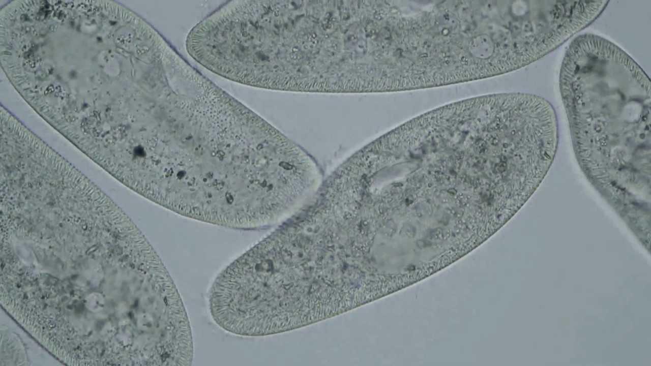 Paramecium Caudatum Under A Microscope Paramecium caudatum - mit