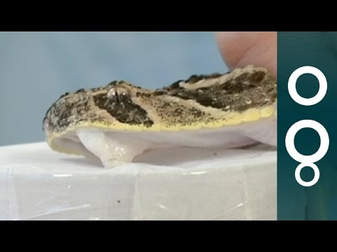 How To Handle Dangerous Snakes To Get Their Venom