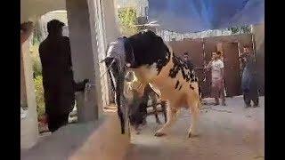 Most Beautiful Cow Qurbani 2018 | Most Beautiful Black Bull Qurbani 2018