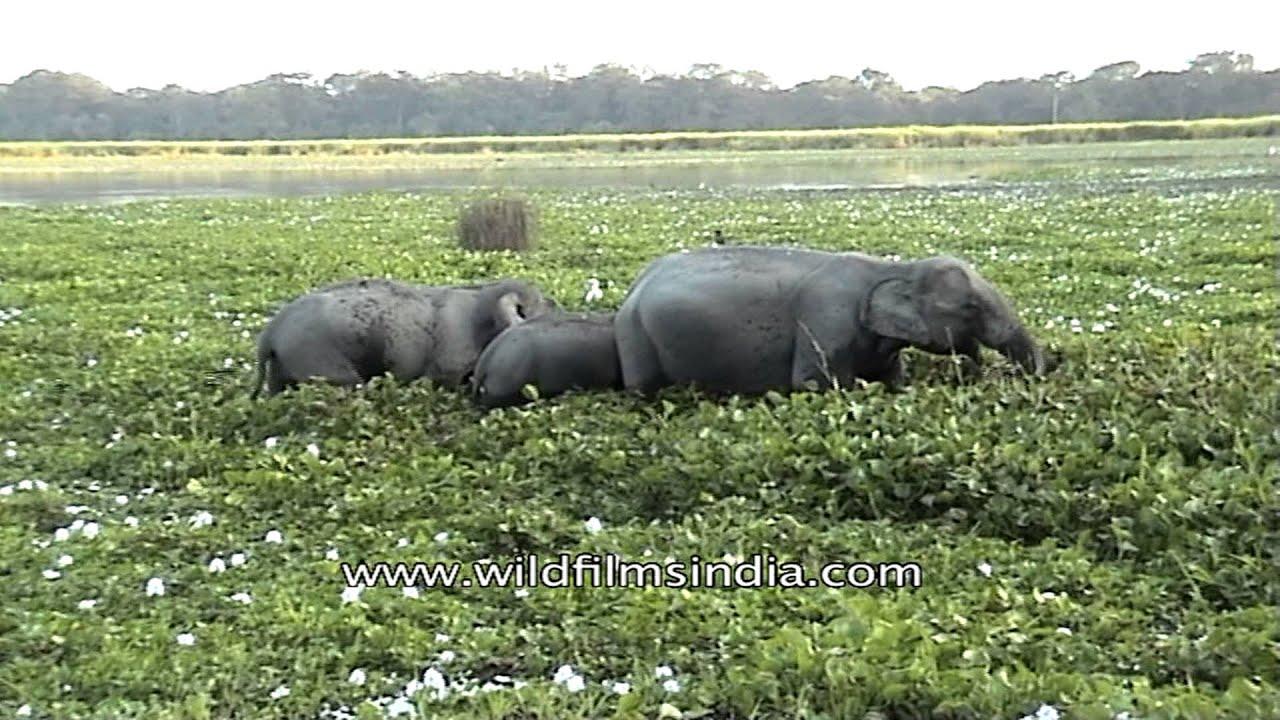 Elephant Eating Grass Elephant Eating Grass at
