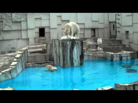 ホッキョクグマに氷と果物と活魚のプレゼント 1 円山動物園 PolarBear