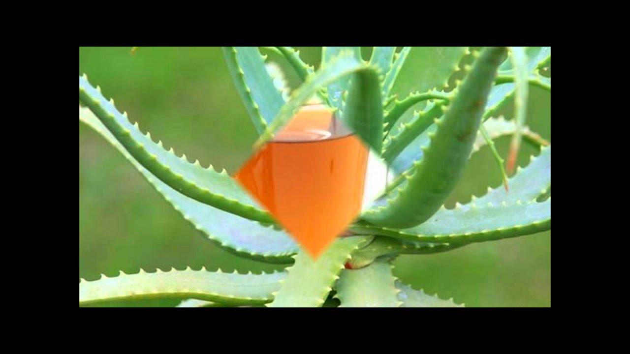 Video sobre algunas plantas medicinales youtube for Mezclas de plantas medicinales