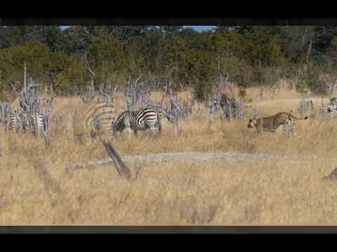 Lion Attacks Zebra Hwange National Park Botswana video