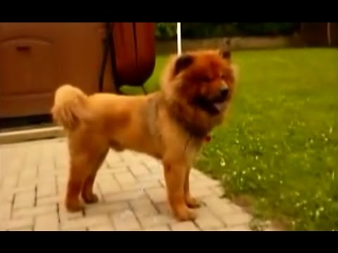 Chow Chow Lion Cut Lion style grooming for dogs