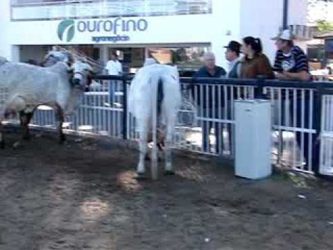 Gir Leiteiro - Vacas Megaleite 2010