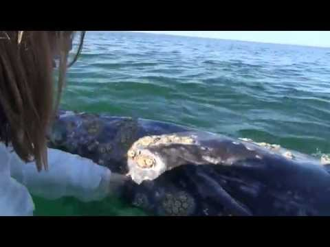 The Friendly Whales of San Ignacio- mating and kissing on Valentines Day