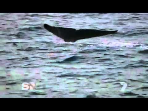 Worlds Largest Blue Whale Ever - Discovered In Sri Lanka video