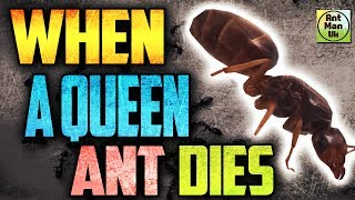 What Happens If A Queen Ant Dies Queen Ant Colony Survival