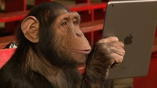 Performing iPad Magic to Chimpanzees