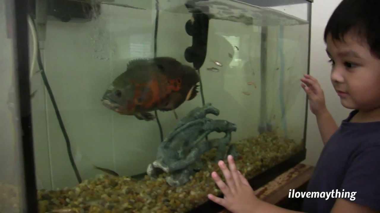 Full grown oscar fish - photo#22
