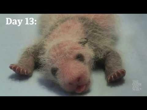 双子の赤ちゃんパンダが成長する様子に癒される♪