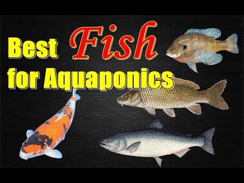 DIY Aquaponics: Best FISH for AQUAPONICS System Guide
