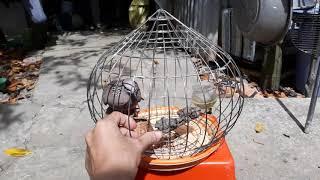 Cách để nuôi 1 con chim cu gáy có bộ lông đui dài đẹp.thế hiển cà mau chia sẻ kinh nghiệm bản thân.