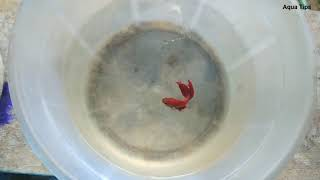 How to breed Betta fish Malayalam / betta fish breeding video (fighter fish breeding) Aqua tips