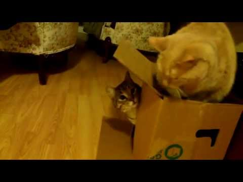 Cats Vs Box