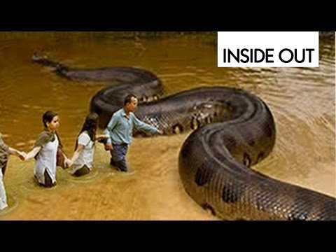Biggest Python is disgusting antelope Caught on camera | Giant Anaconda | World's Biggest Snake