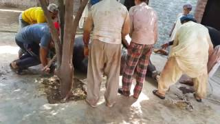 Very Angry Bull on Qurbani EID 2016  - Anar Qasai 2016 - Qurbani Videos 2016