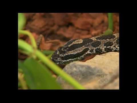 Rattlesnake Bite !  Antivenom rushed by COPS