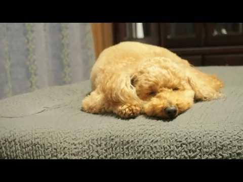 眠りに落ちる犬 / 寝顔 / トイプードル (Toy Poodle)