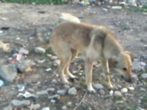 Kurdish Dog Dancing To Aziz Weisi Song (gul)  - Very Funny video