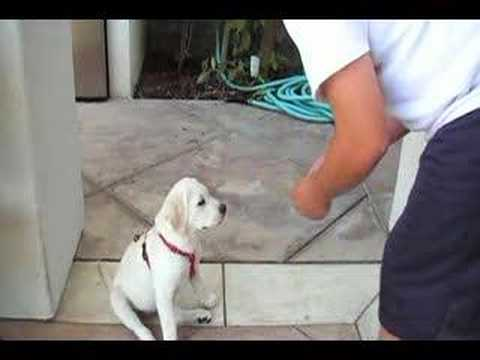 3 month old labrador Retriever Puppy doing tricks Video