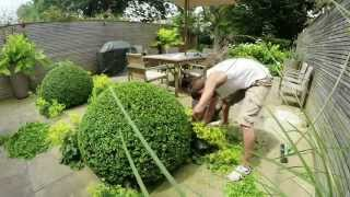 Topiary - (short version) annual shaping of Buxus Sempervirens (box) - Notting Hill