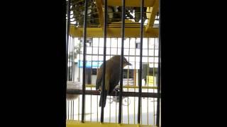 Pleci Giant isian love bird kapas tembak glatik mantenan by Bagor