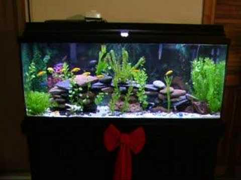 Fish Caresheets further Fish  munity likewise Viewtopic besides Watch also Symphysodon. on oscar cichlid african
