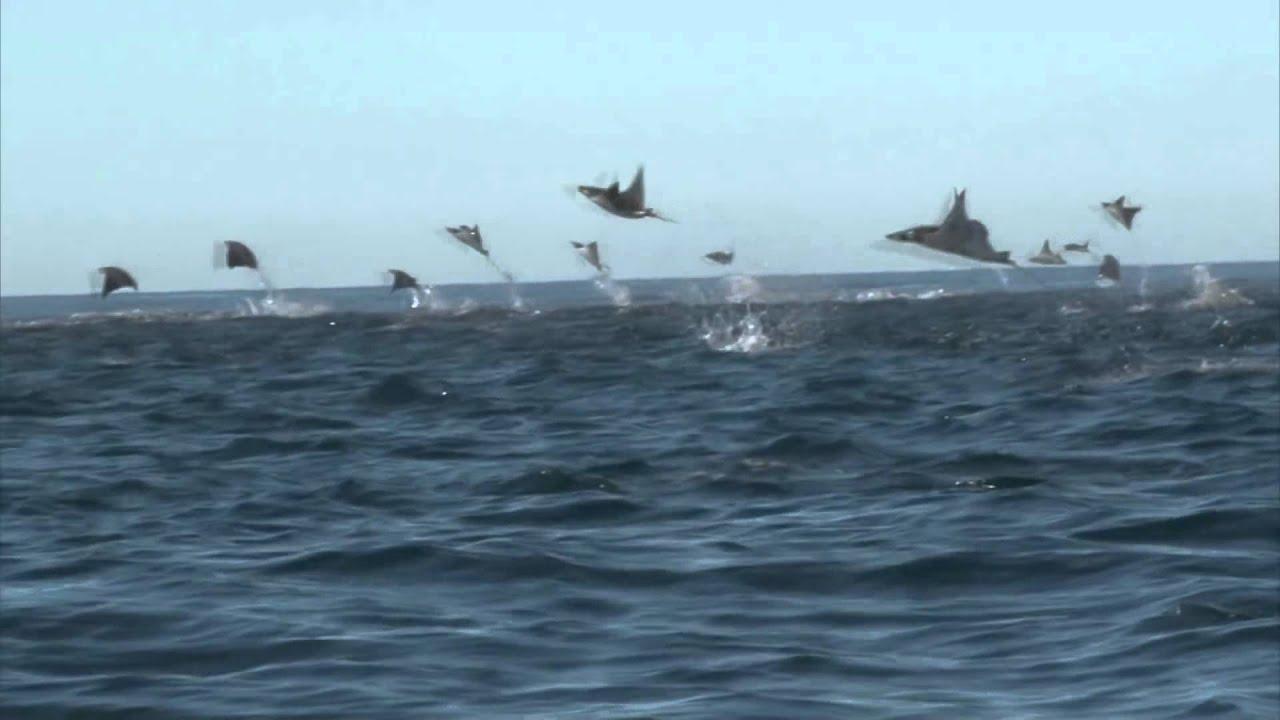 Manta Ray Jumping Manta Rays Jumping