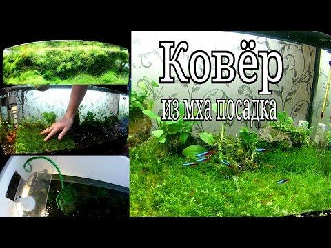 Посадка яванского мха ковром / Planting Javanese moss carpet