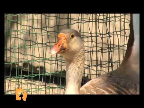 """""""Cani, gatti & c."""" – Servizio sugli animali da cortile nella puntata del 23 Maggio 2012"""