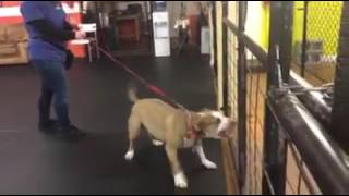 Training | Daisy's arrival - reactivity and aggression to dogs | Solid K9 Training Dog Training